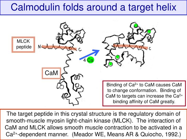 Calmodulin folds around a target helix