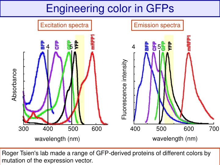 Colored GFPs