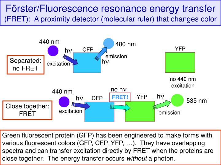 Förster/Fluorescence resonance energy transfer