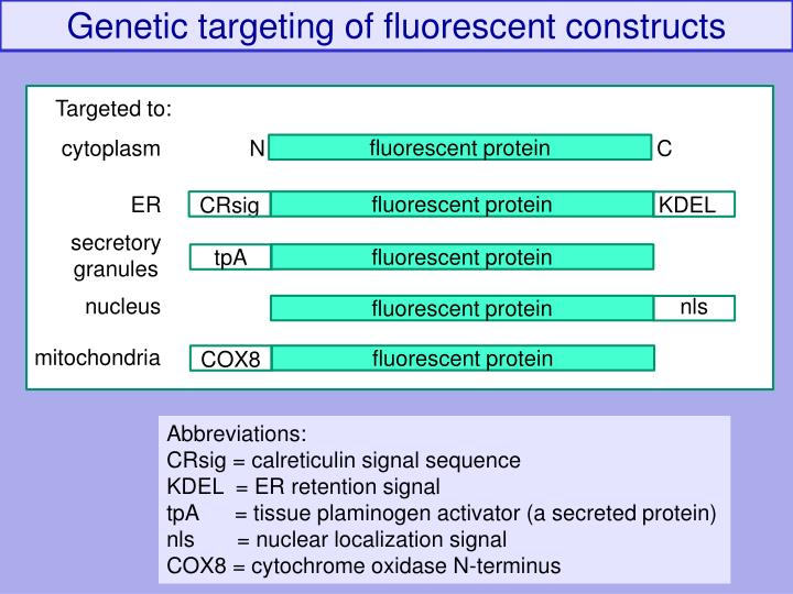 Genetic targeting of fluorescent constructs