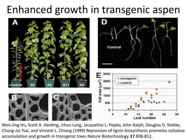 Enhanced growth in transgenic aspen