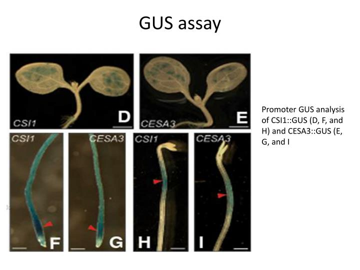 GUS assay