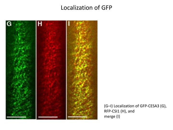 Localization of GFP