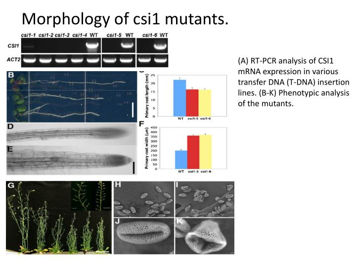 Morphology of csi1 mutants.
