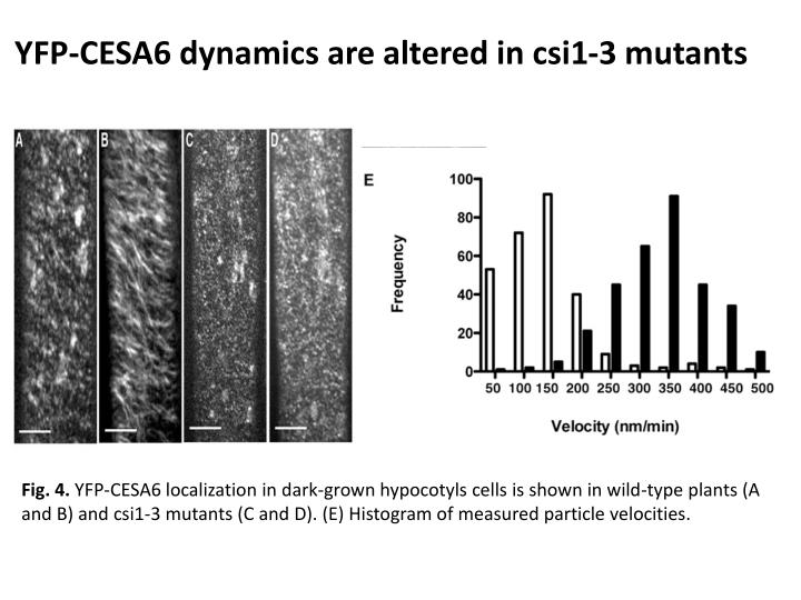 YFP-CESA6 dynamics are altered in csi1-3 mutants