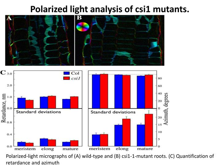 Polarized light analysis of csi1 mutants.