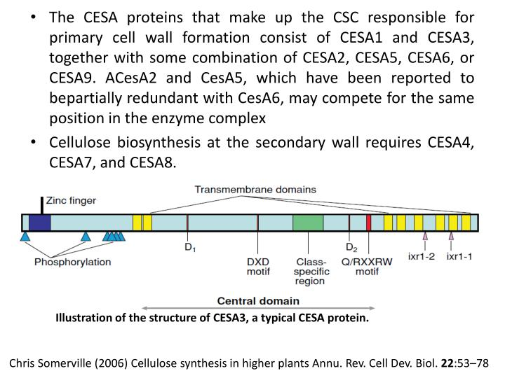 The CESA proteins that make up the CSC
