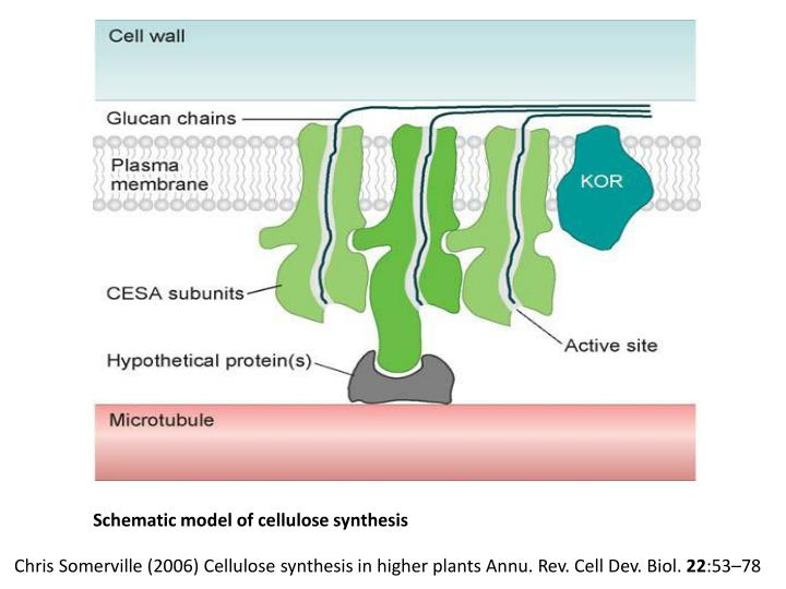 Schematic model of cellulose synthesis