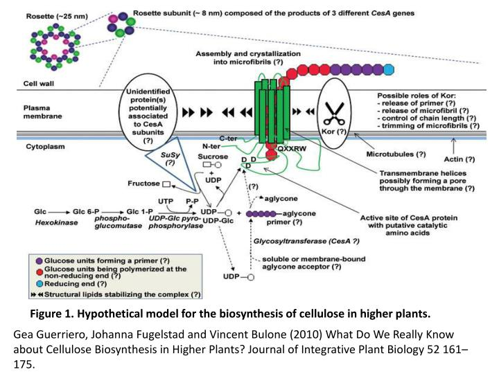 Figure 1. Hypothetical model for the biosynthesis of cellulose in higher plants.