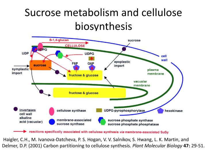 Sucrose metabolism and cellulose biosynthesis