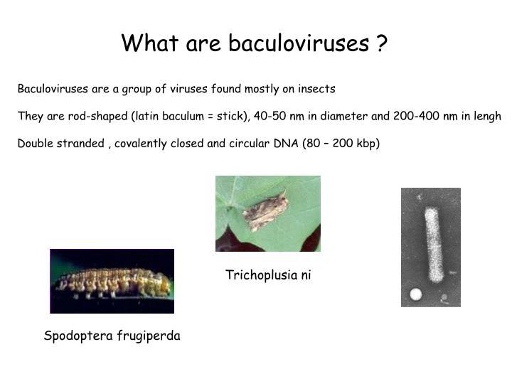 What are baculoviruses ?