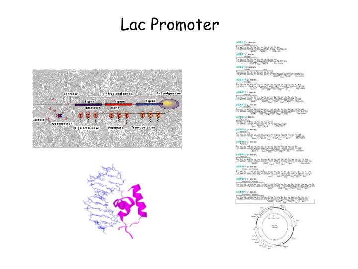 Lac Promoter