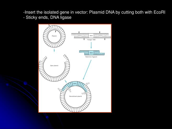 Insert the isolated gene in vector: Plasmid DNA by cutting both with EcoRI
