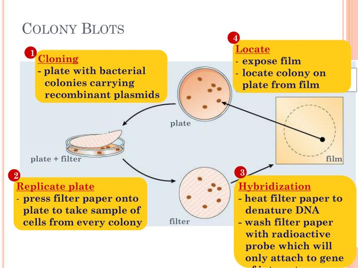 Colony Blots