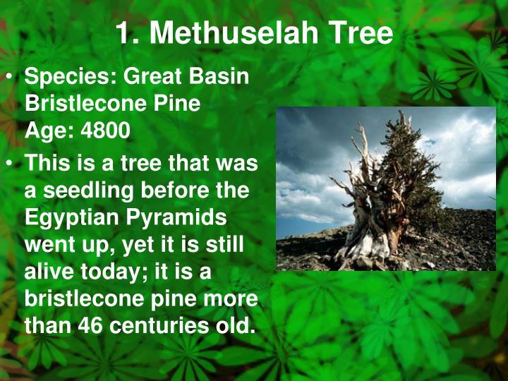 1. Methuselah Tree