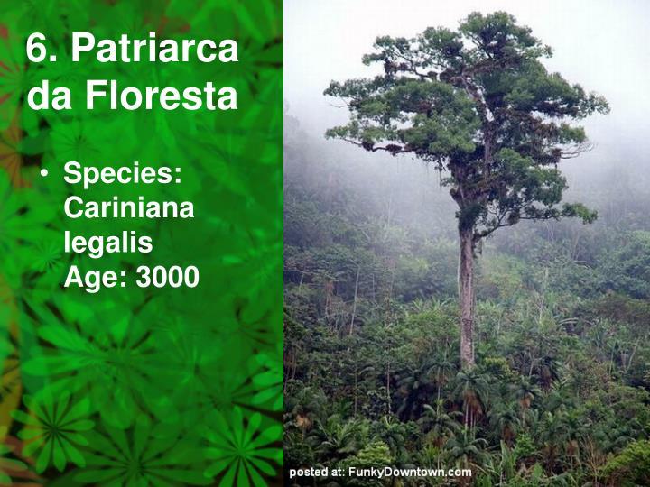 6. Patriarca da Floresta