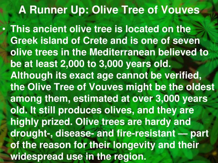 A Runner Up: Olive Tree of Vouves
