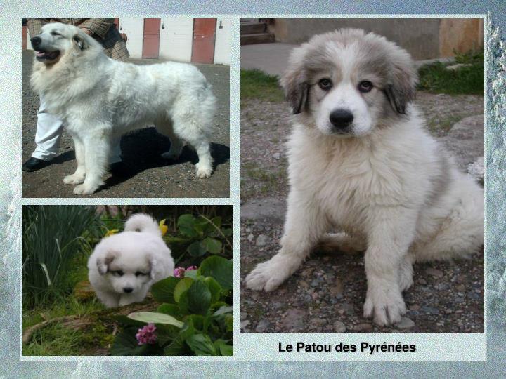Le Patou des Pyrénées