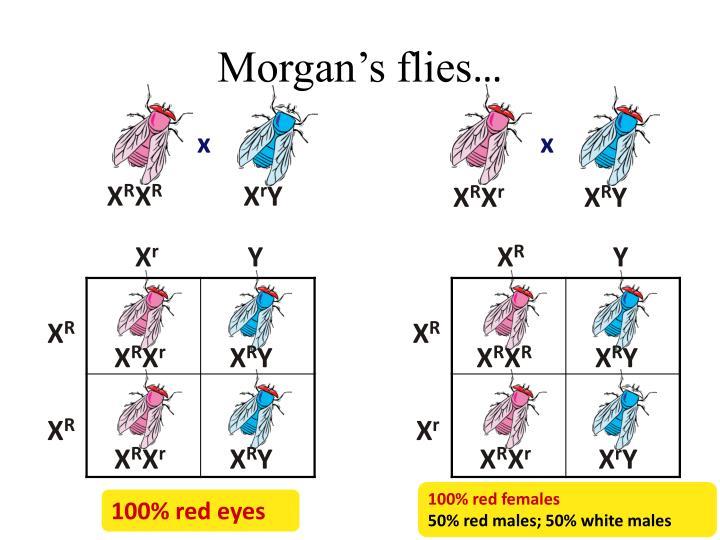 Morgan's flies