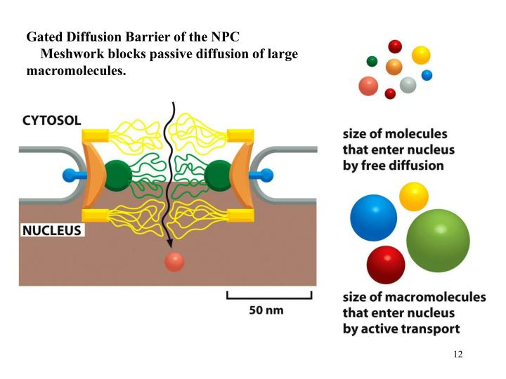 Gated Diffusion Barrier of the NPC