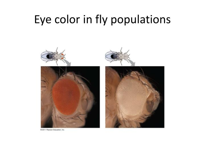 Eye color in fly populations