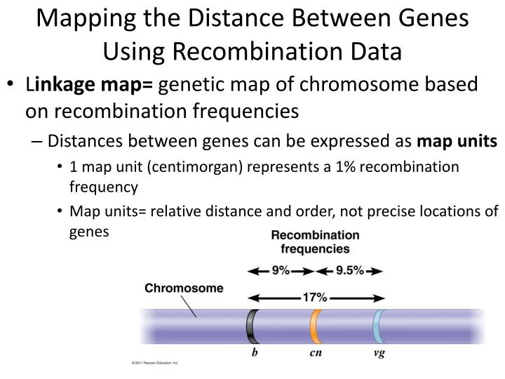 Mapping the Distance Between Genes Using Recombination