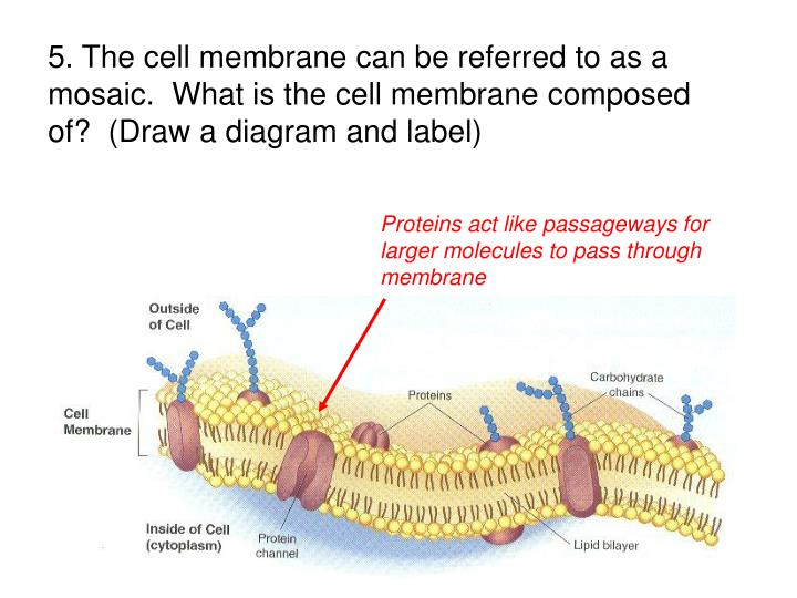 5. The cell membrane can be referred to as a mosaic.  What is the cell membrane composed of?  (Draw a diagram and label)