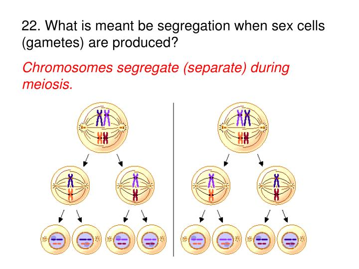 22. What is meant be segregation when sex cells (gametes) are produced?