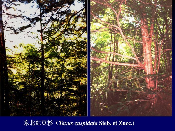 东北红豆杉(