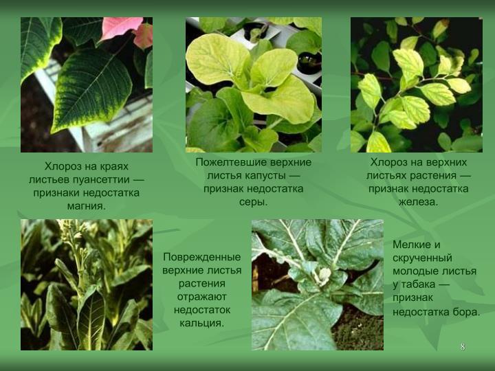 Пожелтевшие верхние листья капусты— признак недостатка серы.