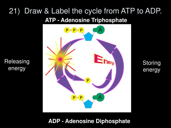 21)  Draw & Label the cycle from ATP to ADP.