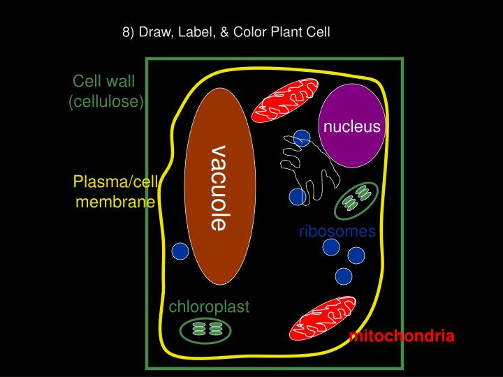 8) Draw, Label, & Color Plant Cell