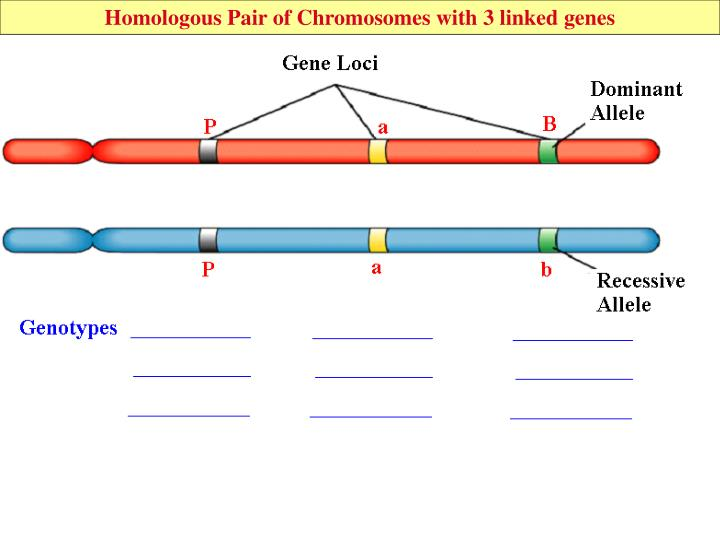 Homologous Pair of Chromosomes with 3 linked genes