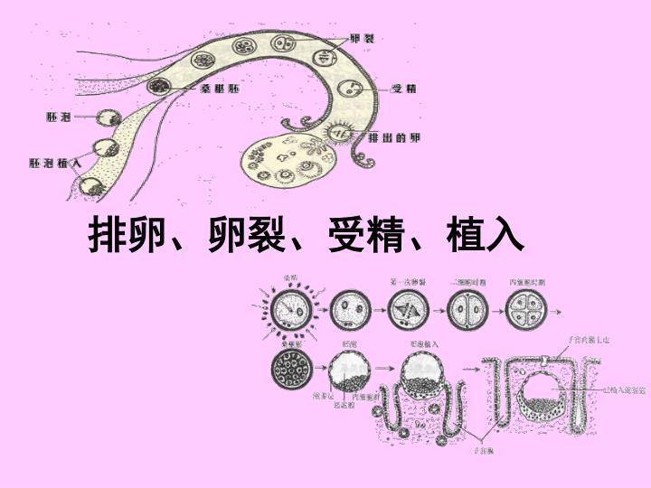 排卵、卵裂、受精、植入