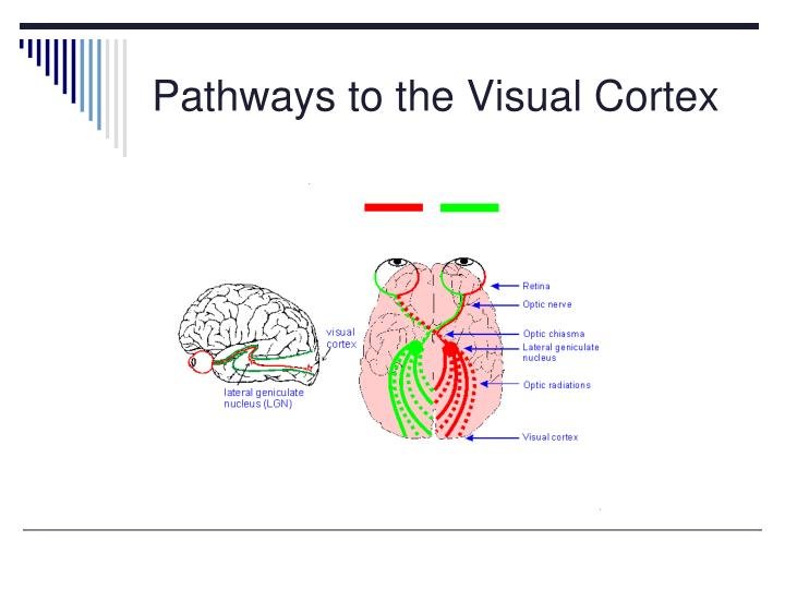 Pathways to the Visual Cortex