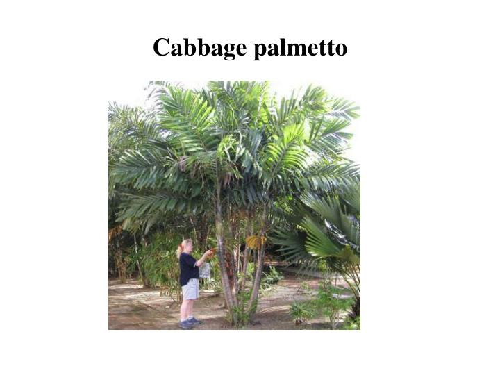 Cabbage palmetto