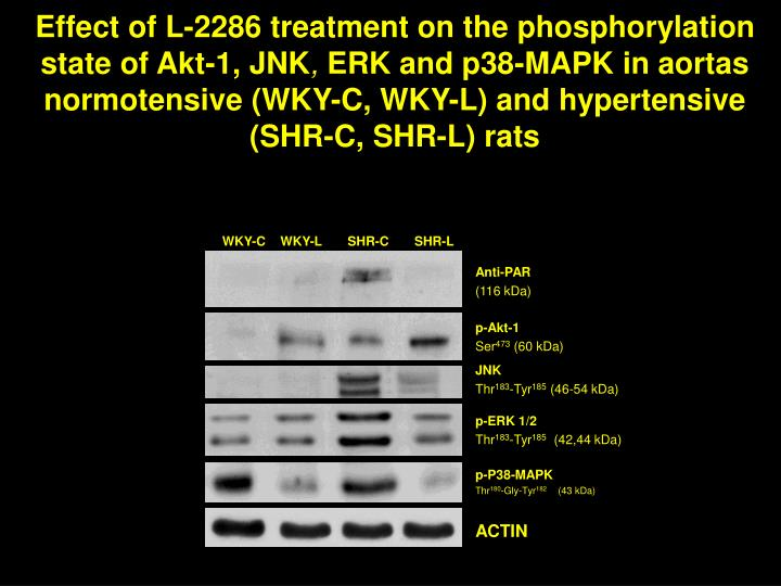 Effect of L-2286 treatment on the phosphorylation state of Akt