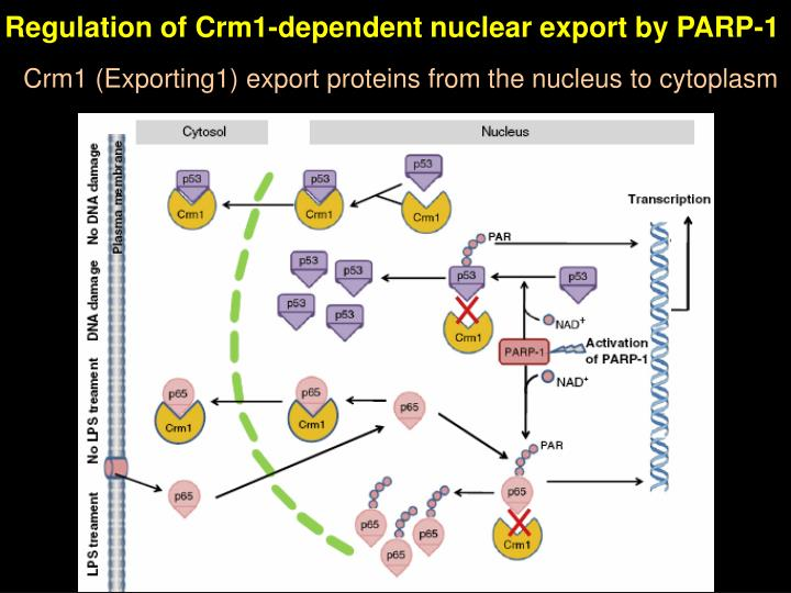 Regulation of Crm1-dependent nuclear export by PARP-1