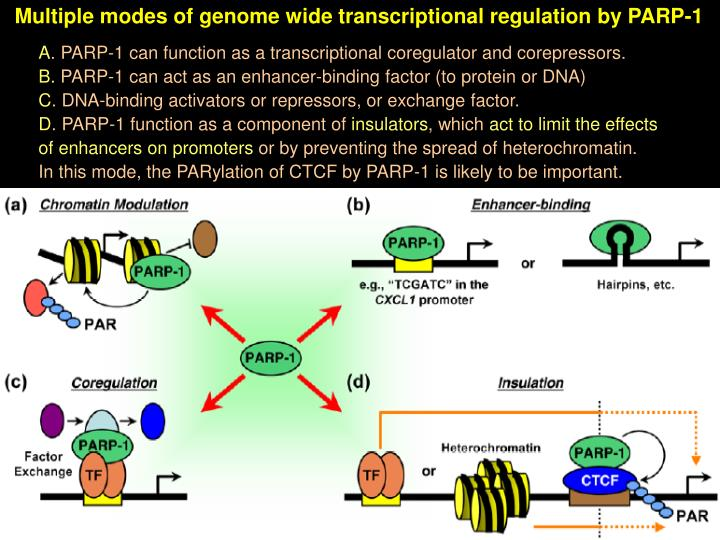 Multiple modes of genome wide transcriptional regulation by PARP-1