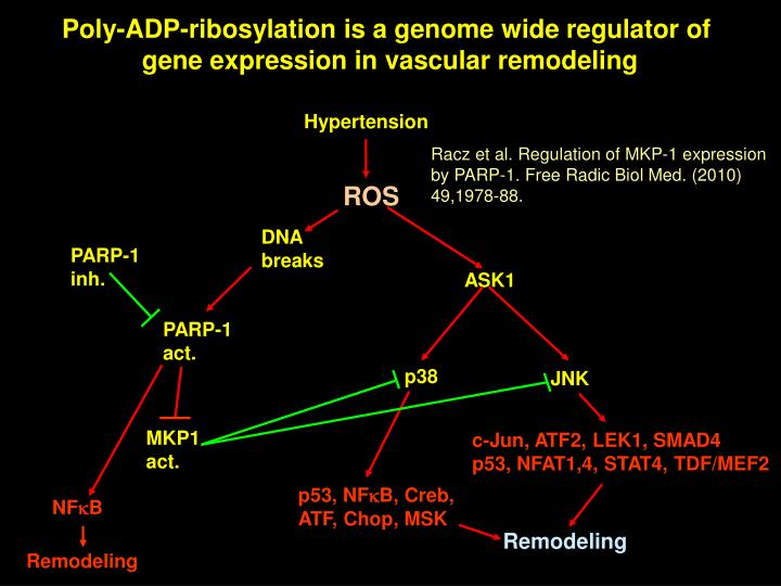 Poly-ADP-ribosylation is a genome wide regulator of
