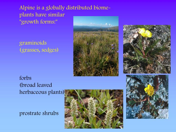 Alpine is a globally distributed biome-