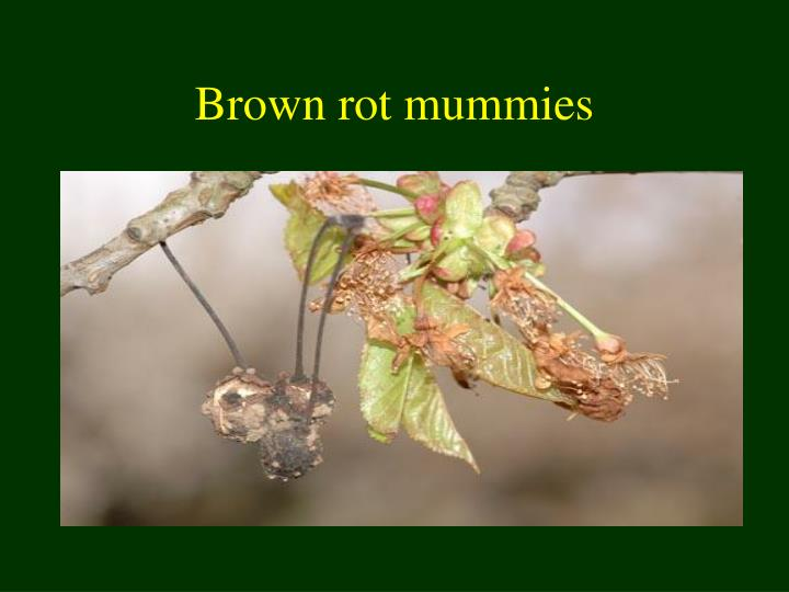Brown rot mummies