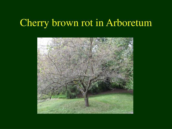Cherry brown rot in Arboretum