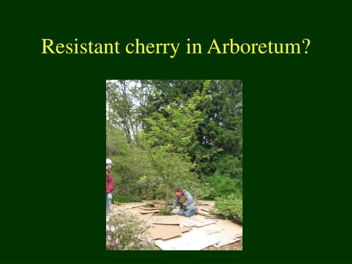 Resistant cherry in Arboretum?