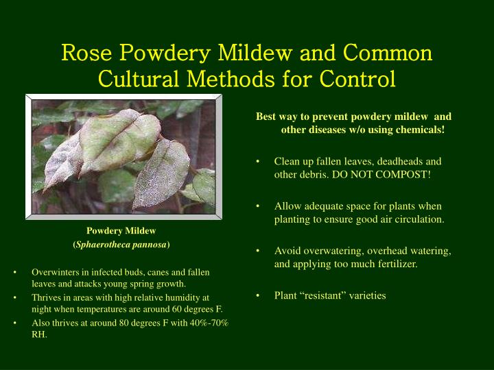 Rose Powdery Mildew and Common Cultural Methods for Control