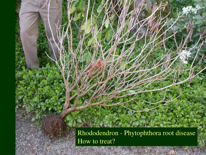 Rhododendron - Phytophthora root disease