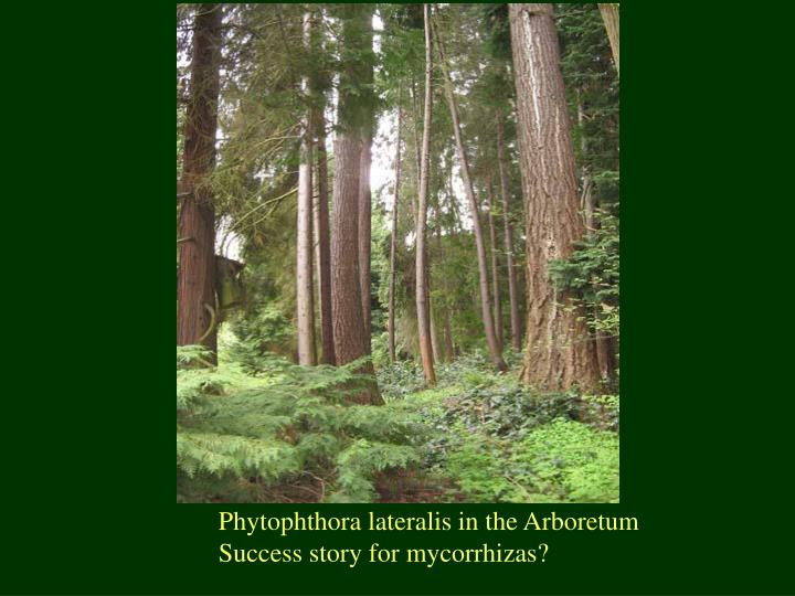 Phytophthora lateralis in the Arboretum