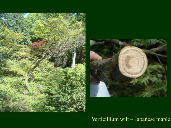 Verticillium wilt – Japanese maple