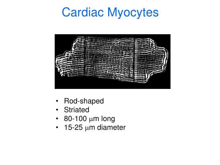 Cardiac Myocytes