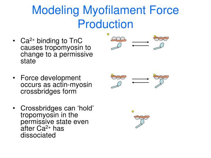 Modeling Myofilament Force Production